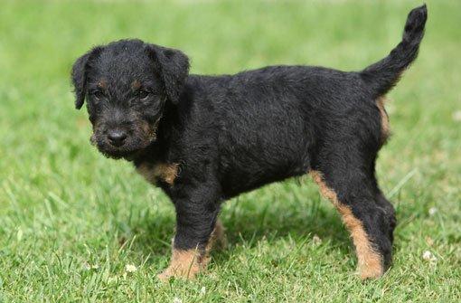 3. März: Zwei Terrier-Welpen gestohlen