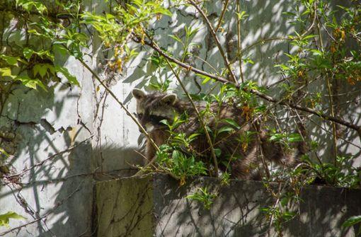 Wildtier sitzt in der Panoramastraße fest