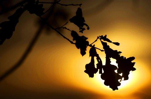 Trockenes Frühjahr, Raupen, Mehltau: Den Eichen geht es am schlechtesten.  Mit 31,6 Prozent haben sie das höchste Schadensniveau, gemessen am sogenannten mittleren Blattverlust. Foto: dpa