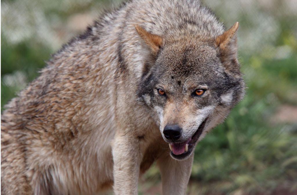 Wölfe haben im vergangenen Jahr mehr Nutztiere gerissen als noch 2017. (Symbolbild) Foto: Shutterstock/tony mills
