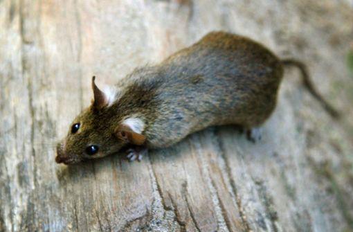 Frau  lebt  in Transporter – mit über 300 Ratten