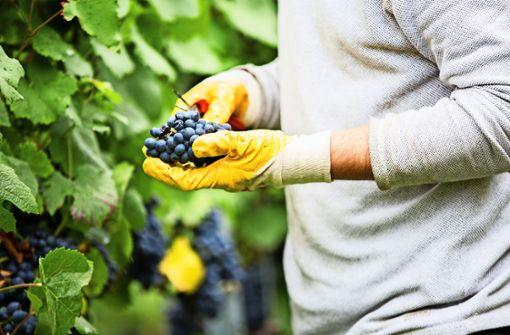 Wengerter erwarten sehr gutes Weinjahr