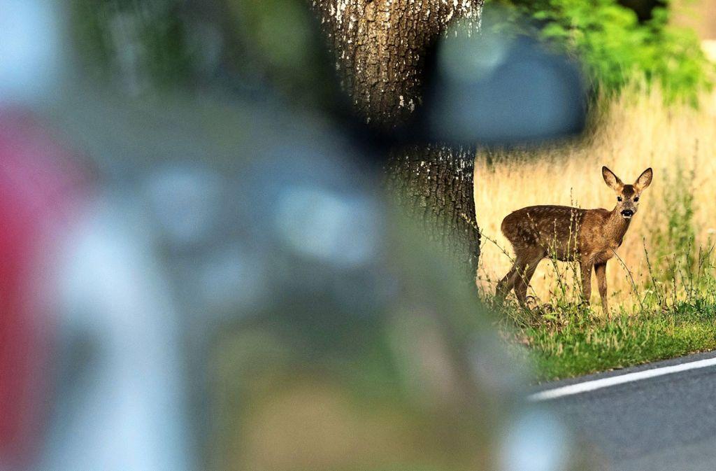 Eine sechsstellige Zahl an Wildunfällen zählt der Deutsche Jagdverband  jedes Jahr. Die Dunkelziffer dürfte allerdings wesentlich höher liegen. Foto: dpa/Patrick Pleul