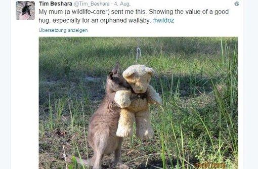 Känguru-Baby tröstet sich mit Teddy