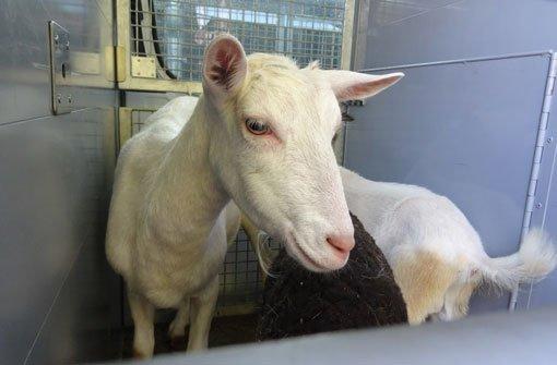 Ziegen und Kaninchen im Hühnerstall