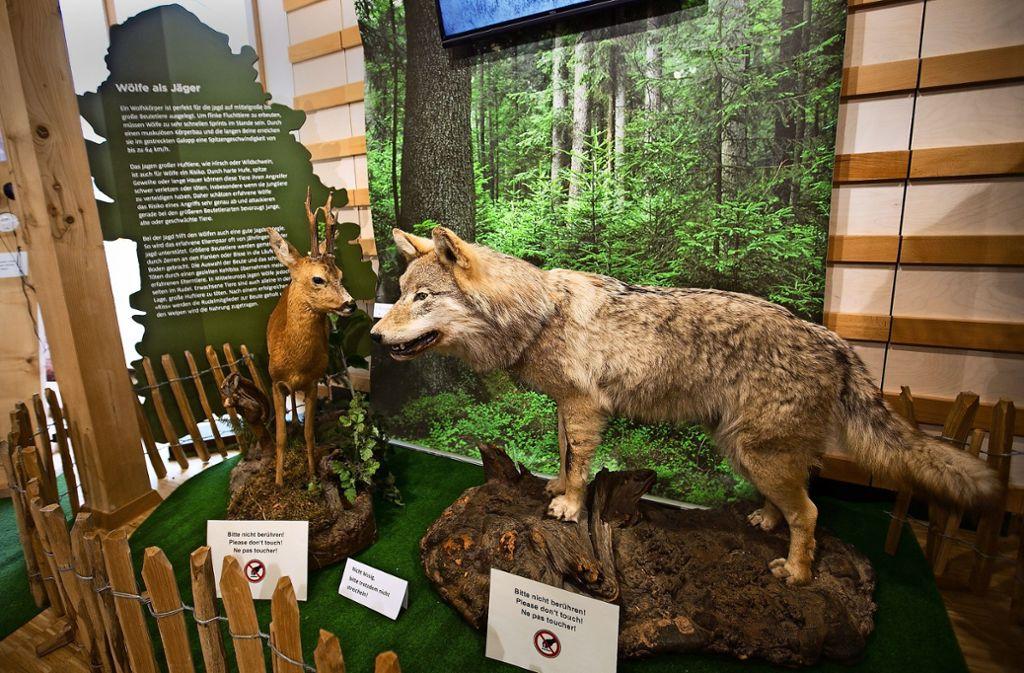 So friedlich wie hier bei den präparierten Exemplaren fällt die Begegnung von Wolf und Reh  in der Realität nicht aus. Rehe machen einen Großteil der Wolfsrisse aus Foto: Ines Rudel