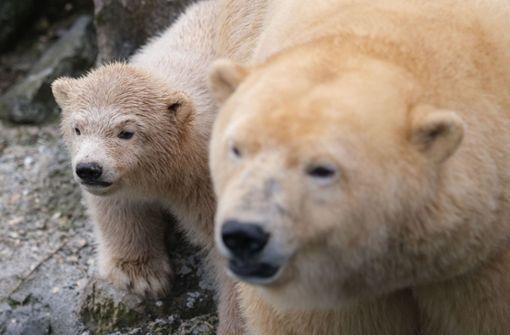 Junge Eisbärin macht ersten Ausflug ins Freie