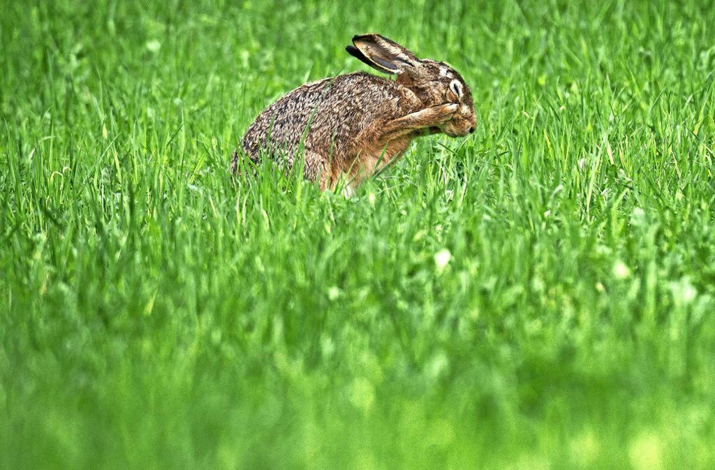 Viele Feldhasen bedeuten Vielfalt in der Natur. Foto: dpa