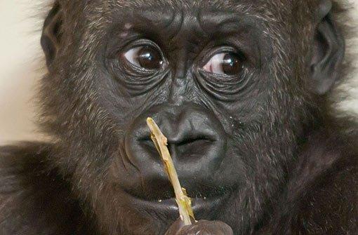 Gorilla-Boy-Group zieht nach Frankreich