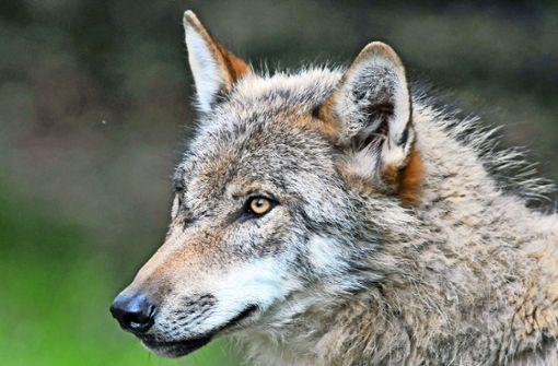 Bestätigt: Fünf Kälber von einem Wolf getötet