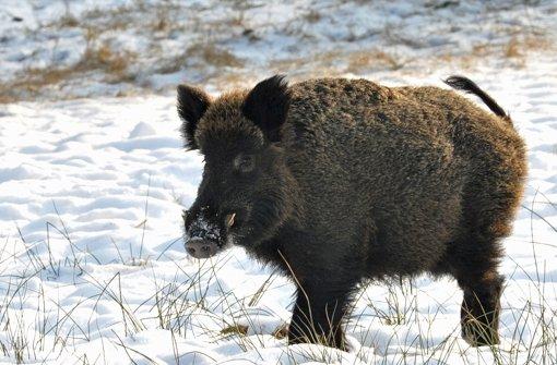 Wildschweinjagd der etwas anderen Art