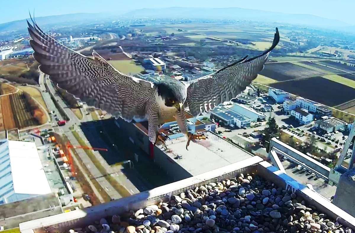 Beeindruckend: ein Wanderfalke im Anflug auf das Dach des Schabenlandtowers. Foto: Michael Eick per Webcam/Michael Eick