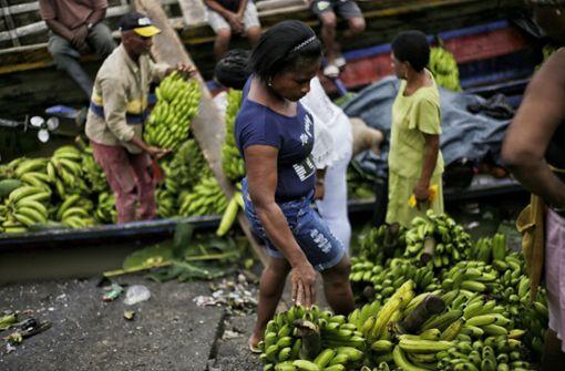 Bananenkrankheit betrifft auch Exporte nach Deutschland