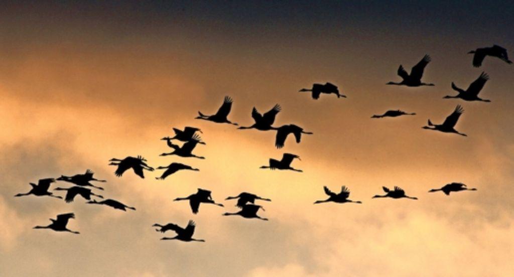 In  den vergangenen Tagen sind hunderte  verspätete Zugvögel gestartet. Foto: dpa
