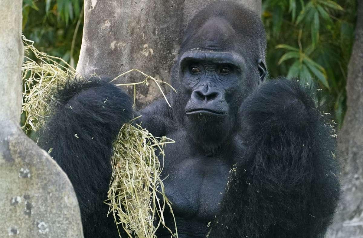 Ein Flachland-Gorilla-Männchen im Zoo von Miami US-Bundesstaat Florida (Symbolbild). Foto: /Wilfredo Lee/AP