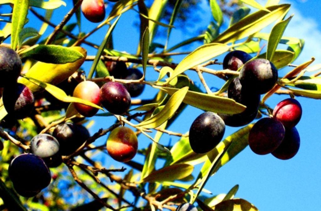 Die Blätter sind ein Abfallprodukt der Olivenernte. Häufig werden sie verbrannt. Jetzt kann damit Leder umweltfreundlich gegerbt werden. Foto: dpa