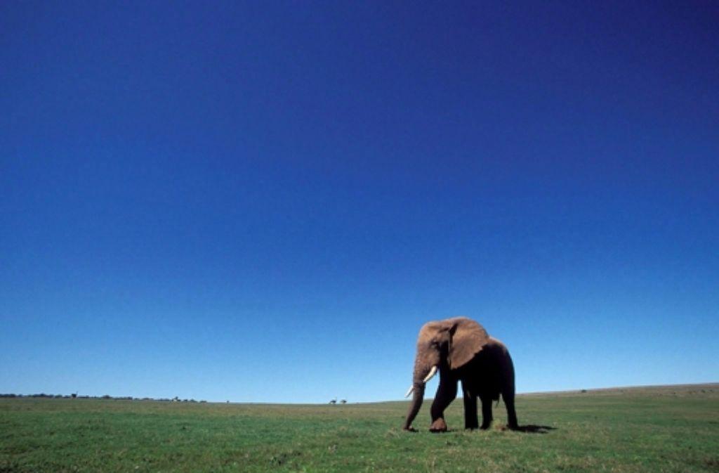 Seit der Handel mit Elfenbein 1989 nahezu komplett verboten wurde, erholen sich die  Elefantenbestände langsam. Seit 2007 tobt aber eine weitere Welle der Wilderei Foto: