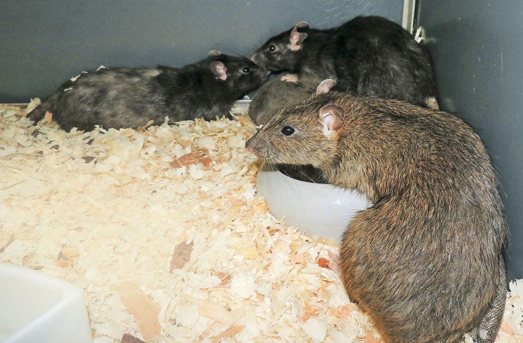 Ratten leben in Gruppen. Wer Männchen und Weibchen als Paar halten will, sollte das Männchen kastrieren lassen. Pro Wurf bekommt ein Weibchen bis zu zehn Jungtiere.  Foto: Tierheim Stuttgart
