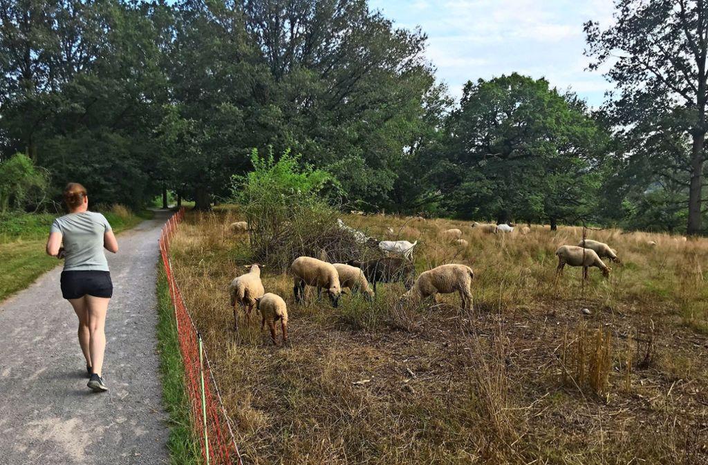 Den Schafen macht das Gestrüpp nichts aus – den Kindern schon. Foto: Julia Bosch