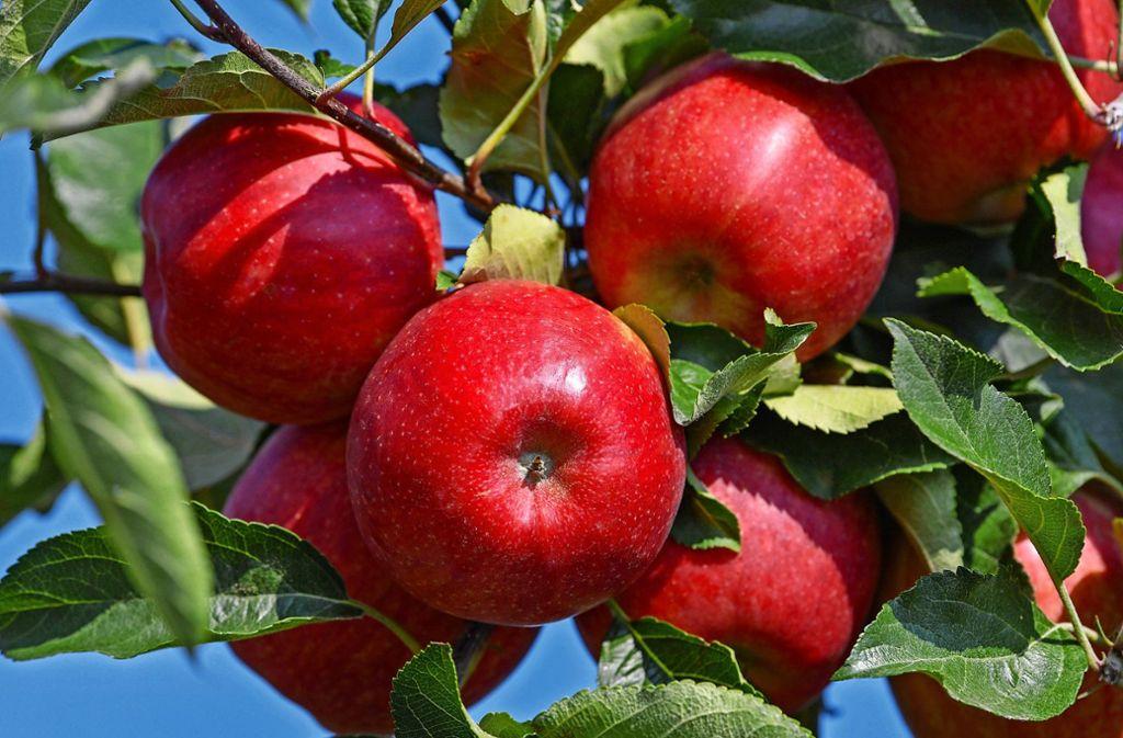 Äpfel sucht Andreas Heimerdinger in diesem Jahr vergeblich. Foto: dpa/Patrick Pleul
