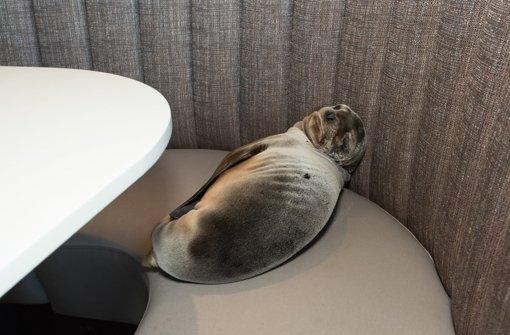 Hungriges Seelöwenbaby verirrt sich