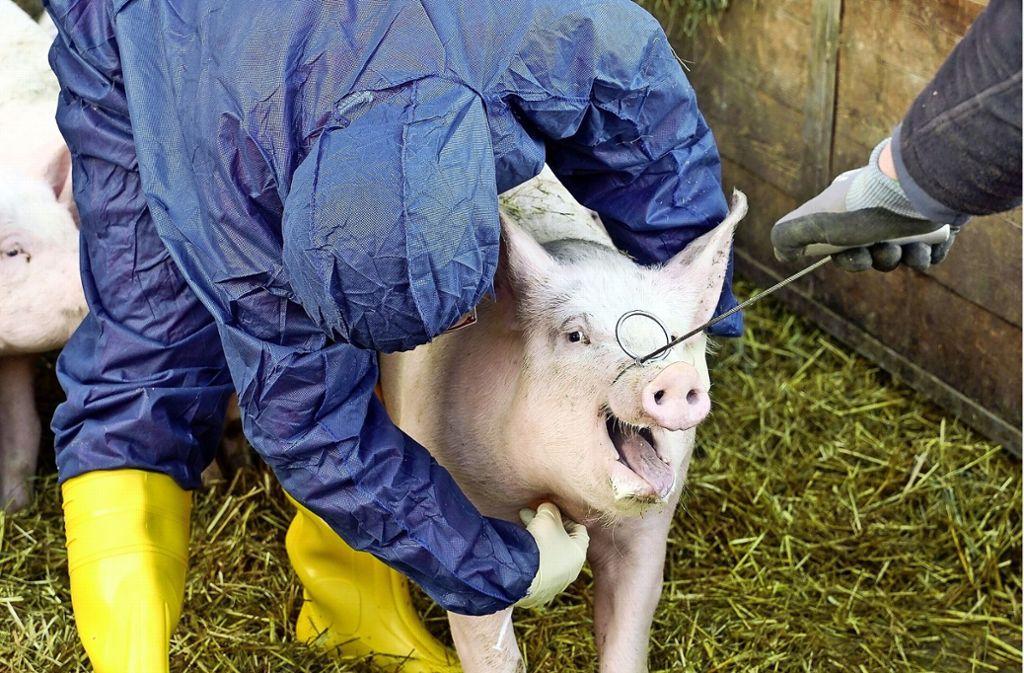 Tierärztin Katja Großmann vom Schweinegesundheitsdienst Aulendorf nimmt dem Schwein Blut ab. Foto: factum/Jürgen Bach