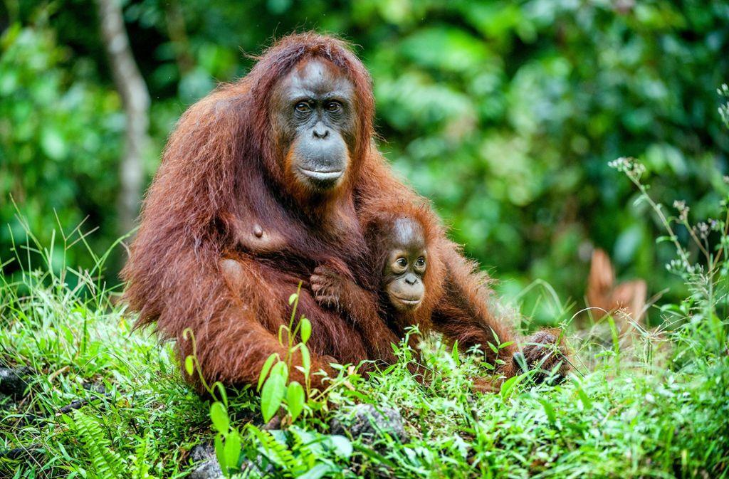Die Weltnaturschutzorganisation hat Orang-Utans als vom Aussterben bedrohte Art gelistet. (Symbolbild) Foto: 99806028