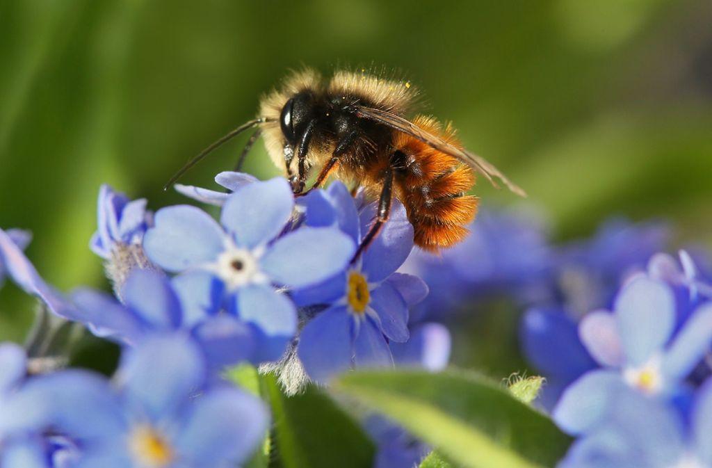 Eine Biene macht Station bei einem Vergissmeinnicht. Foto: dpa