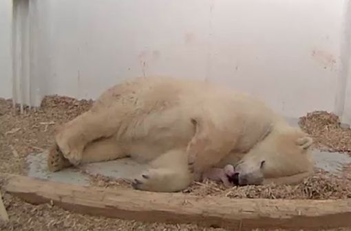 Eisbären-Mädchen an Lungenentzündung gestorben