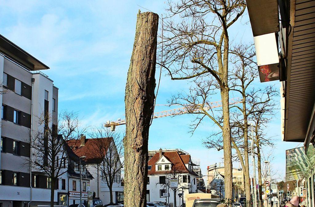 Das Gartenamt hat gut ein Dutzend Bäume an der Kirchheimer Straße direkt unterhalb der Krone abgesäbelt. Foto: Caroline Holowiecki