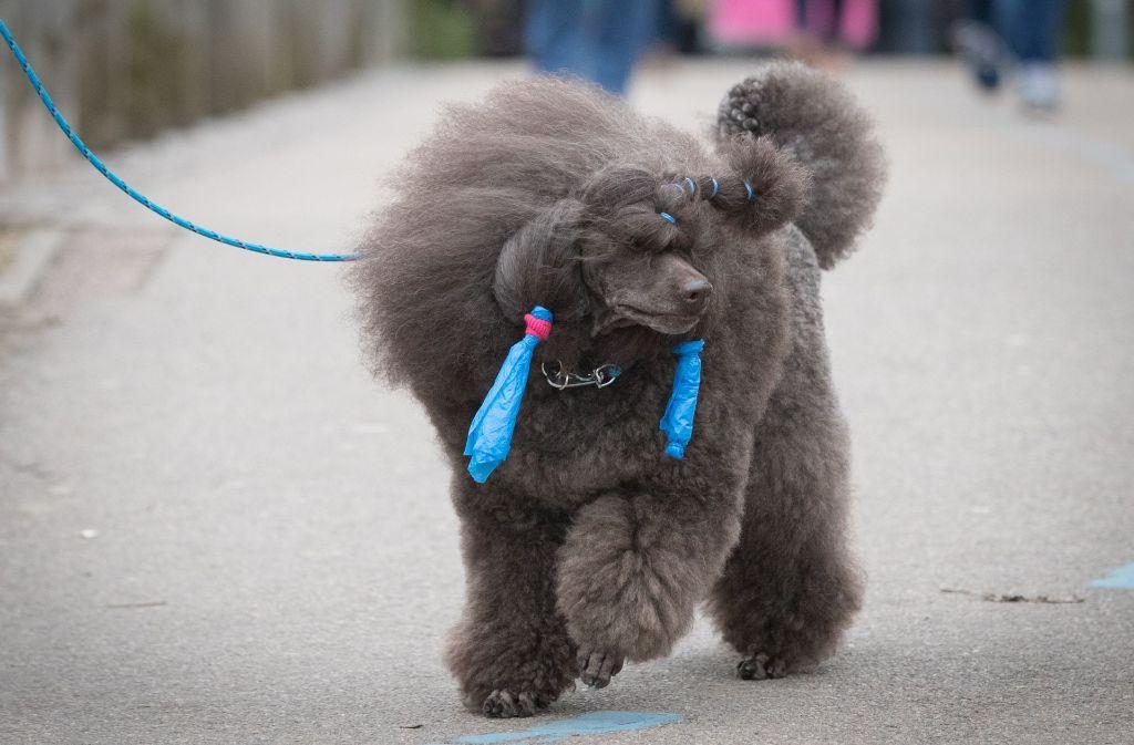 Gestylt und mit buntem Fellschmuck geht es für diesen Hund zur Hundeshow in Birmingham. Foto: