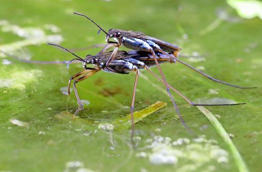 Nicht gerade die DLRG unter den Insekten