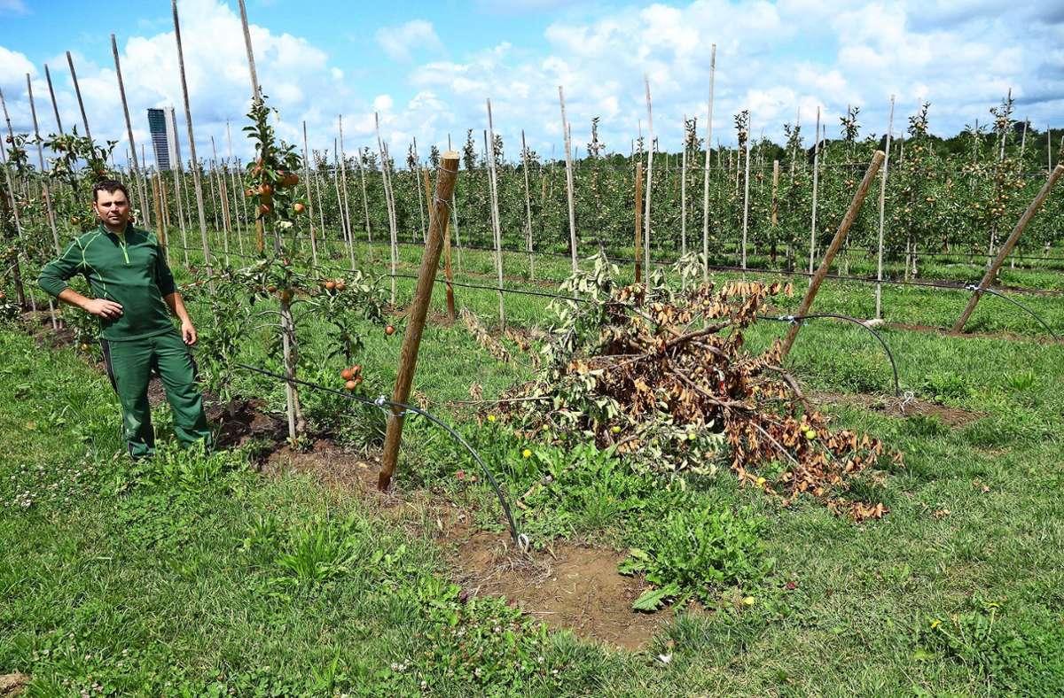 """In der Nähe der Kläranlage musste Thomas Warth schon einige Reihen seiner jungen Apfelbaum-Anlage roden  –  im Vordergrund einige """"feuerverbrannte"""" Äste. Foto: Ingrid Sachsenmaier"""