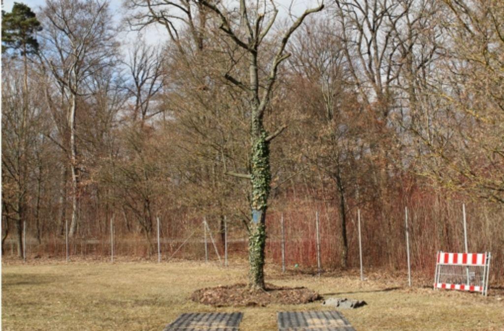 Dies ist einer der versetzten Bäume, er steht jetzt in Degerloch. Foto: Archiv Tharang