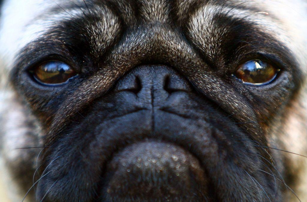 Möpse mit kurzer Schnauze und Glubschaugen sind bei Hundefreunden beliebt. Doch das Leid der Tiere durch extreme Zucht ist groß. Der Tierschutzbeauftragte des Landes warnt: Das Problem betrifft nicht nur Möpse. Foto: dpa