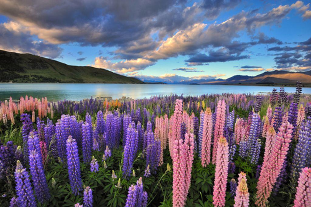 Alles blüht und grünt und das zur Weihnachtszeit! In Neuseeland herrschen dann Sommer und hervorragende Bedingungen für Biker. Foto: Shutterstock/Nadly Aizat