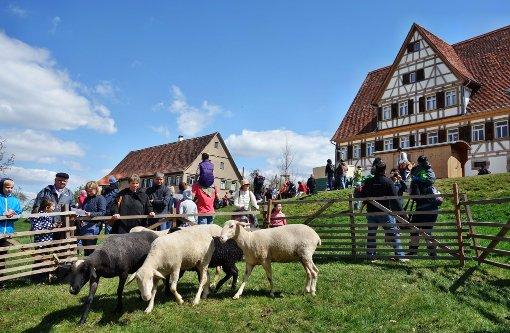 Merino-Schafe bleiben im Stall