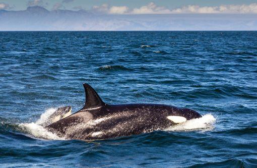 Sportangler entdeckt erstmals Orcas vor Sizilien