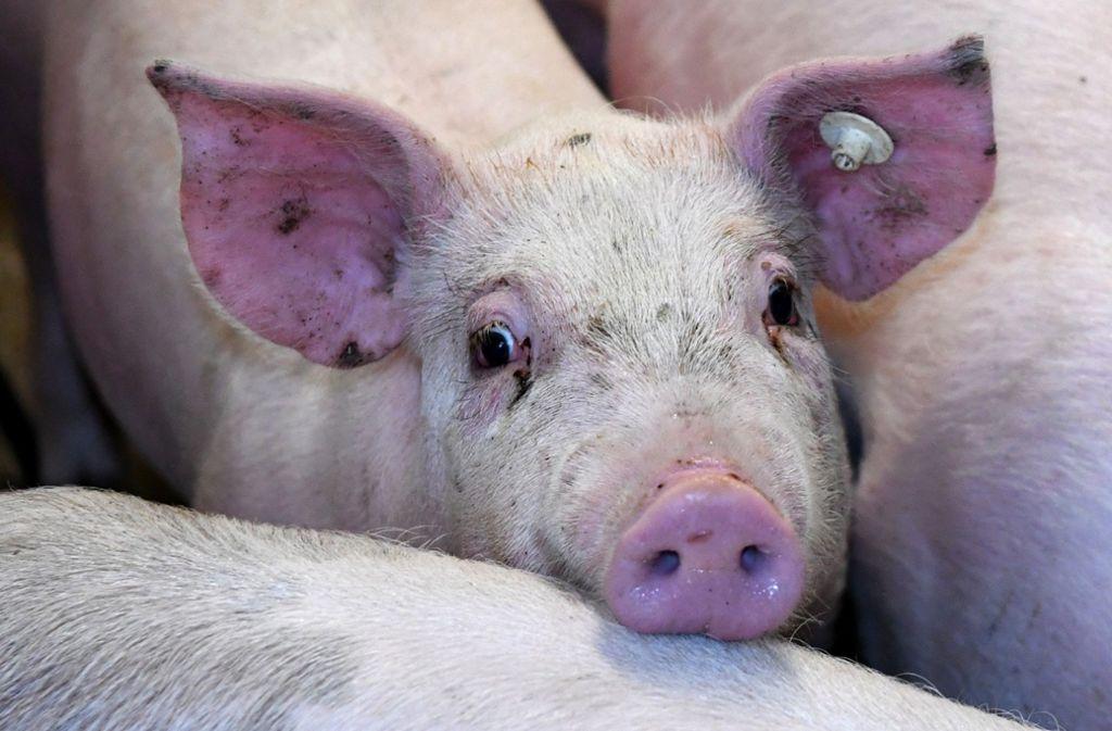 Mehr als 1000 Schweine sind in dem Zuchtbetrieb in Merklingen verendet (Symbolbild). Foto: dpa/Carsten Rehder