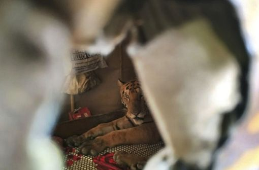 Tiger flieht vor Überschwemmung in ein Haus