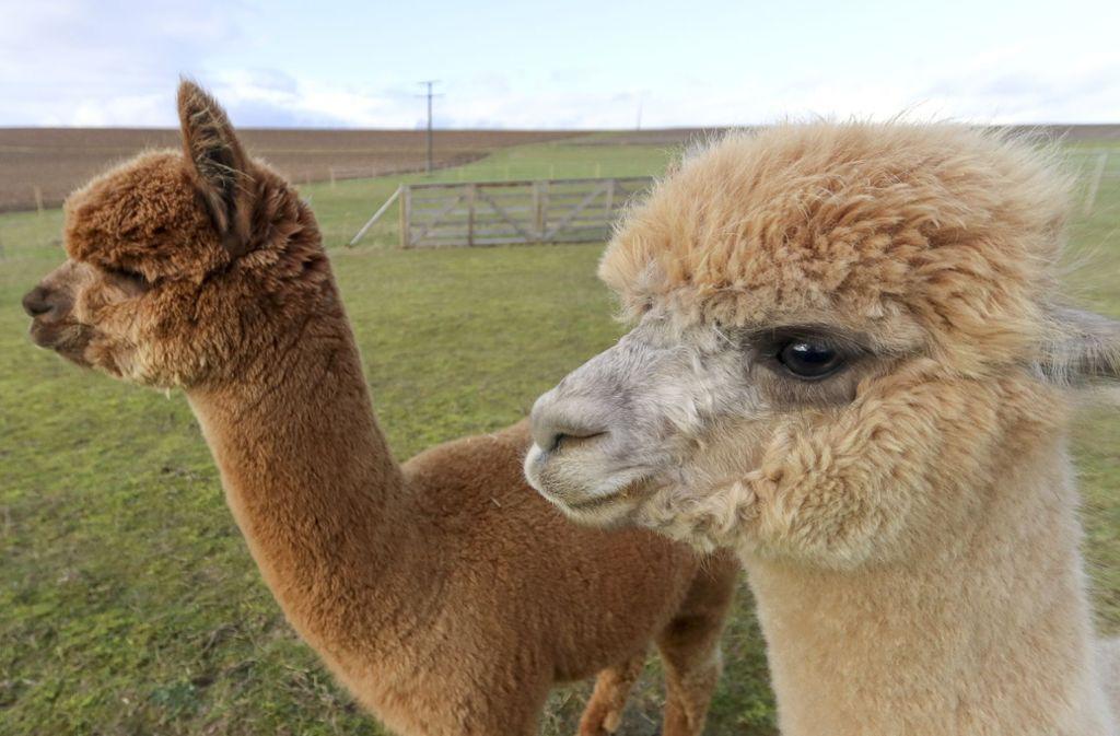 Flauschig wie ein Kuscheltier – Alpakas kommen nicht nur bei Kindern gut an. Foto: factum/Granville