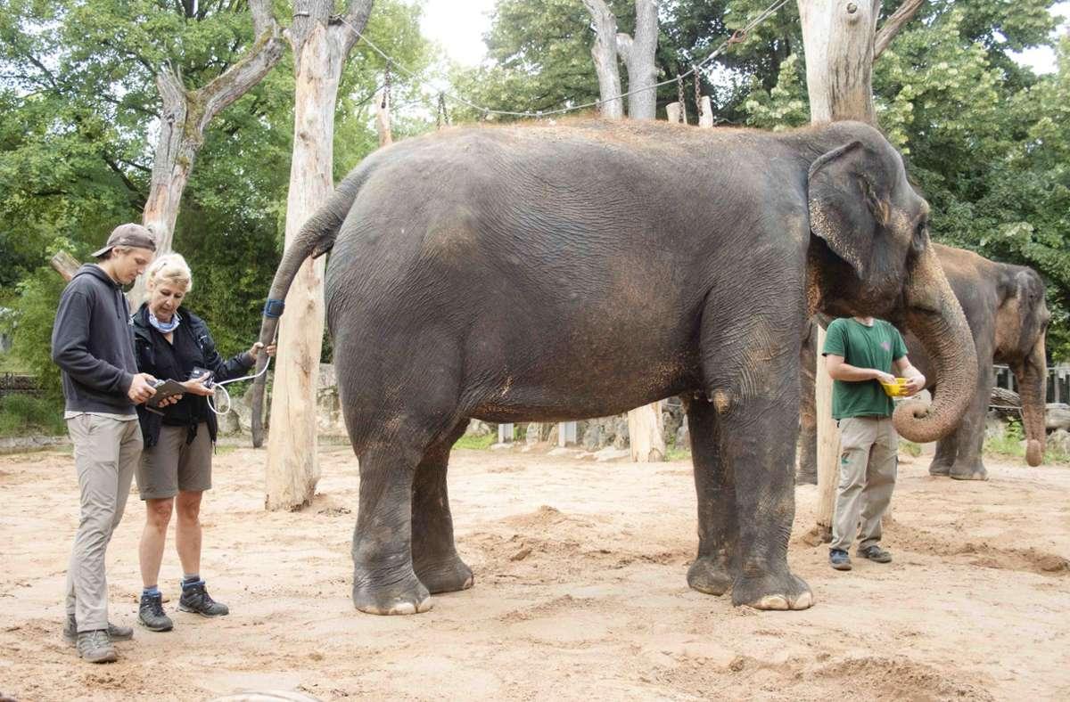 Blutdruck  messen ist bei Elefanten bislang kaum zur Anwendung gekommen. Elefantendame Zella lässt die Untersuchung in der Wilhelma geduldig durchführen. Foto: Wilhelma Stuttgart/Inga Dauter