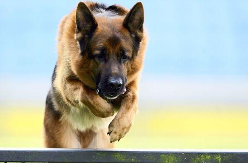 Schäferhunde verletzen Vater mit zwei Kindern schwer