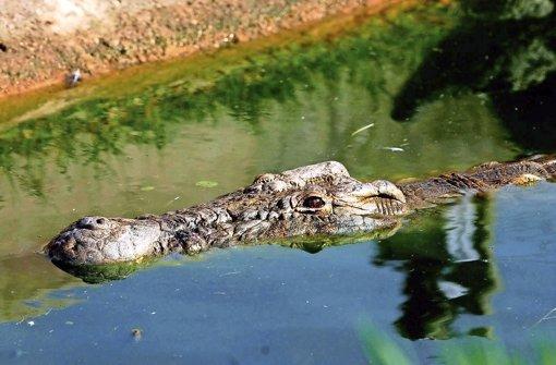 Krokodil frisst Schwangere