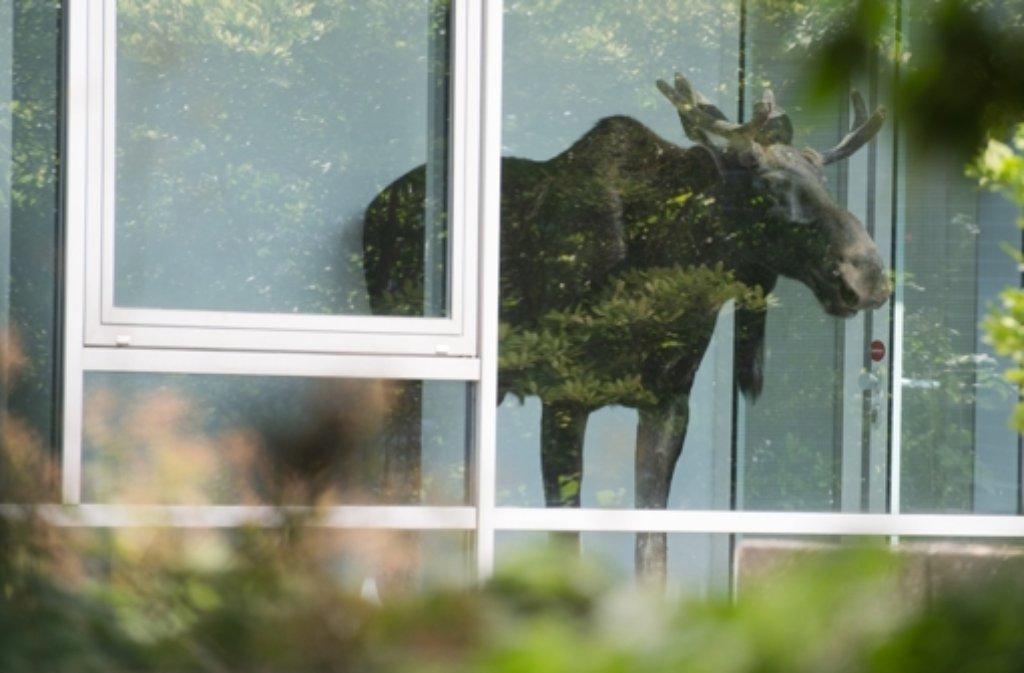 Ein junger Elchbulle hat am Montag in Dresden Büroluft geschnuppert. Foto: dpa