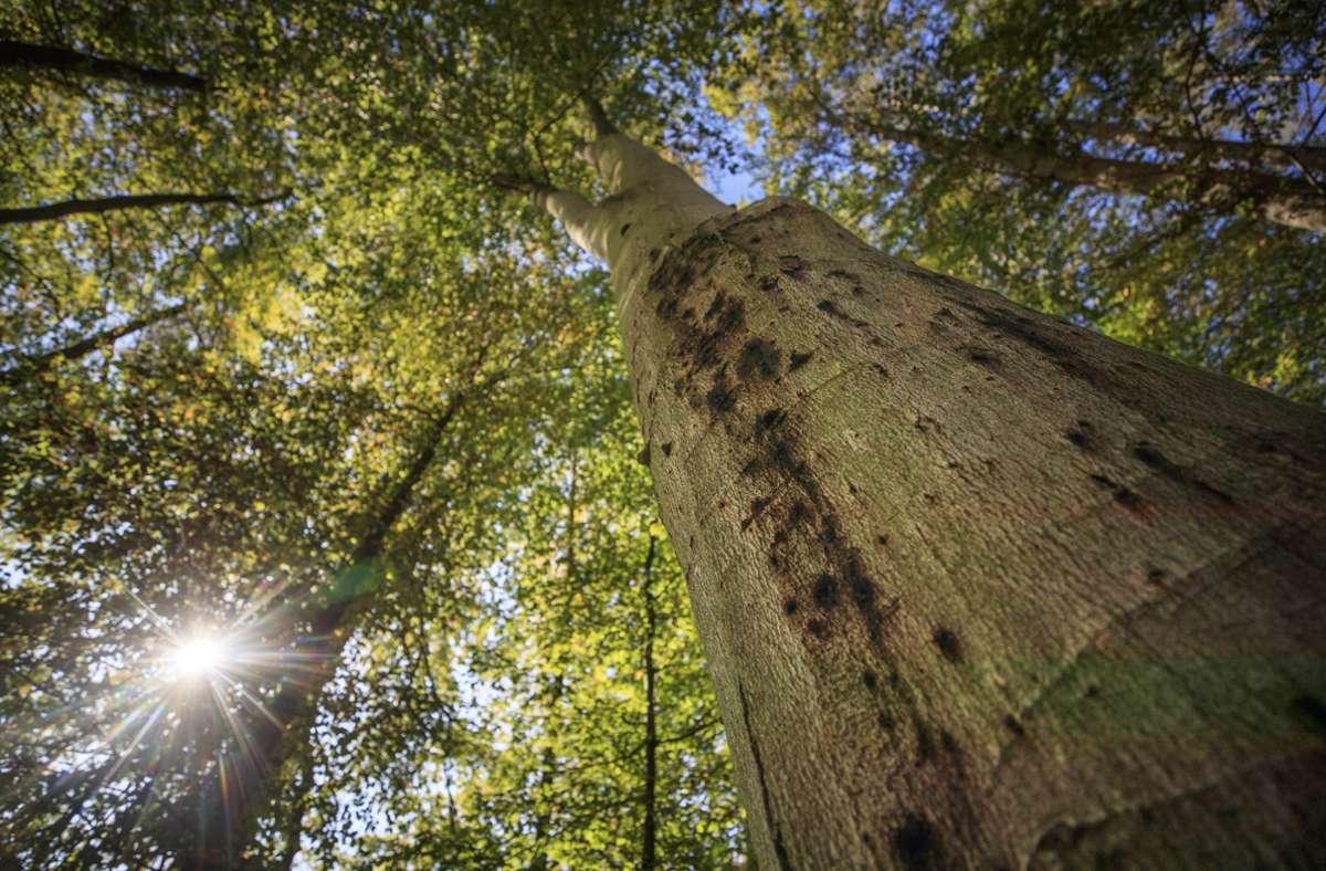 Baumschaden durch Trockenheit bei Schorndorf Foto: Gottfried Stoppel