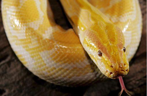 Schlange beißt Mann bei Toilettengang in Penis