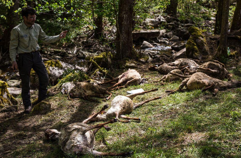 Mehr als 40 Schafe wurden in Bad Wildbad gerissen – vermutlich von einem Wolf. Foto: dpa