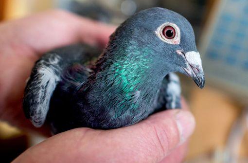Unbekannte stehlen mehrere Tauben aus Zuchtanlage