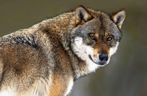 Kommt der Wolf jetzt in die Region Stuttgart?